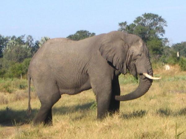 heaviest land animals African Elephant