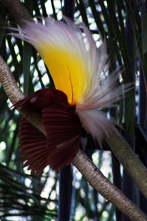 اجمل الطيور الملونة Birds-of-Paradise-Pa