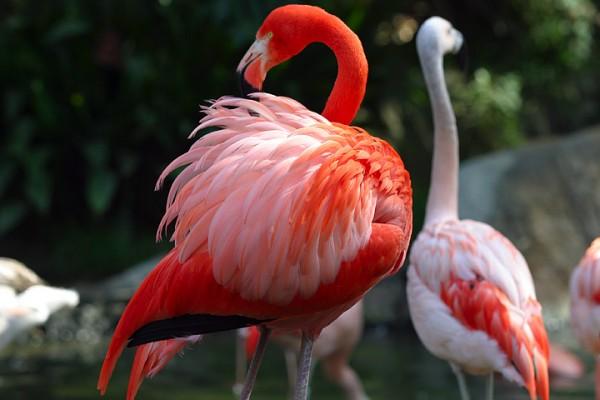 ��� ���� ����� .���� ��� ������ ������� �� ������ Flamingo-Phoenicopte