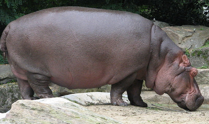Top 10 Heaviest Land Animals On The Earth Fattest Animal In The World