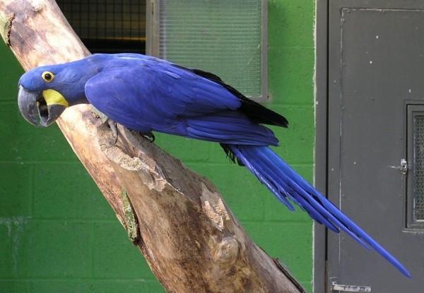 صور طيور ملونة .اجمل صور الطيور الملونة في العالم Hyacinth-Macaw-Anodo