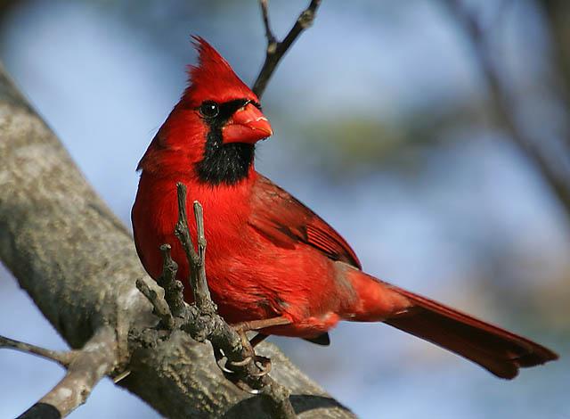 Crveni kardinal (Cardinalis cardinalis) Northern-Cardinal-Cardinalis-cardinalis