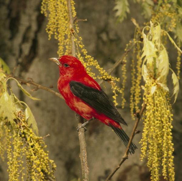 اجمل الطيور الملونة Scarlet-Tanager-Pira