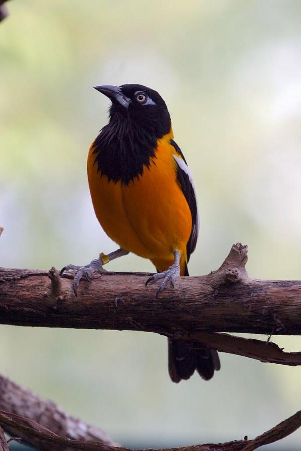 صور طيور ملونة .اجمل صور الطيور الملونة في العالم Troupial-Icterus-ict