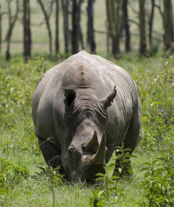 White-Rhinoceros Heaviest Land Animals