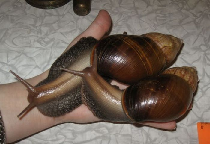 Giant snail pet - photo#15
