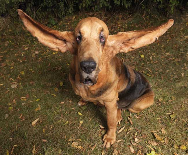 Longest-ears-on-a-dog.jpg