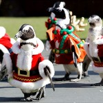 Truly Adorable March of the Christmas Penguins
