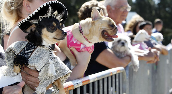 most dogs in costumed attire