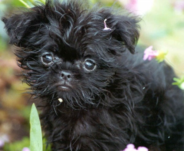 Famous Dog Breeds Affenpinscher