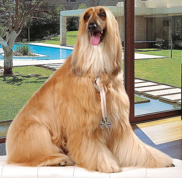 Famous Dog Breeds Afghan Hound