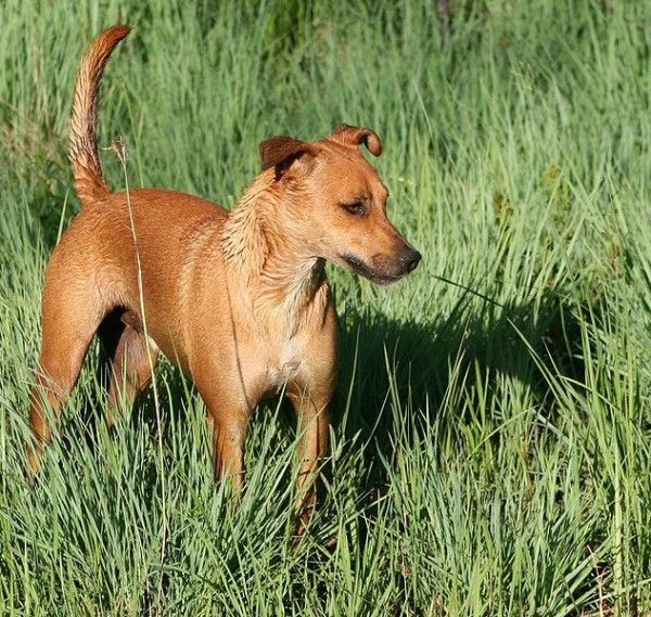 Famous Dog Breeds Africanis