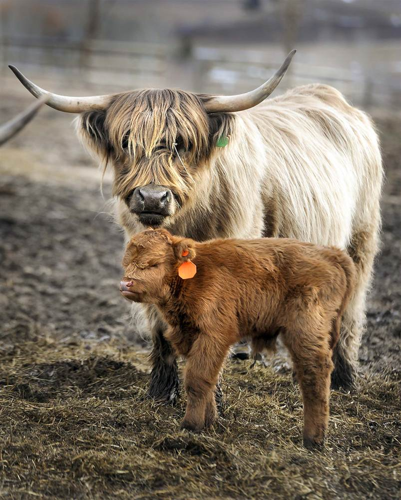 Calf concerns