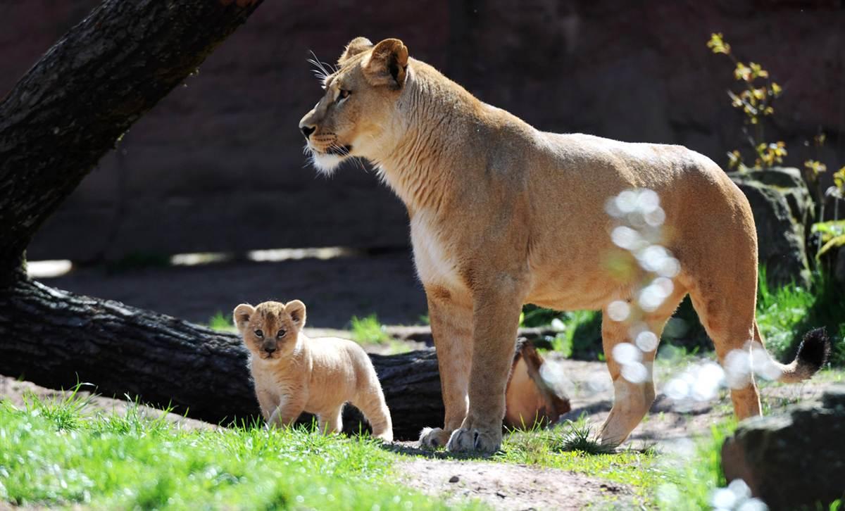 Lion Binta