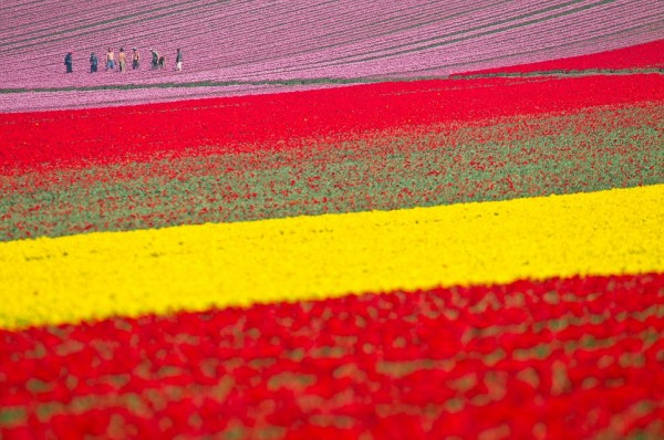Most-Spectacular-Tulip-Fields-of-the-World