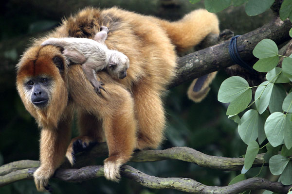 baby black howler monkey