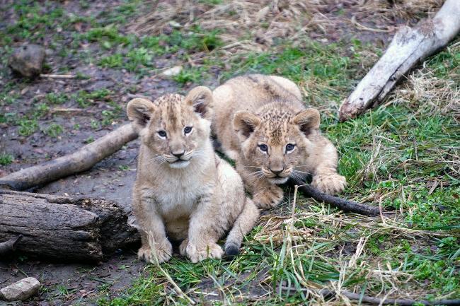 female lion cub