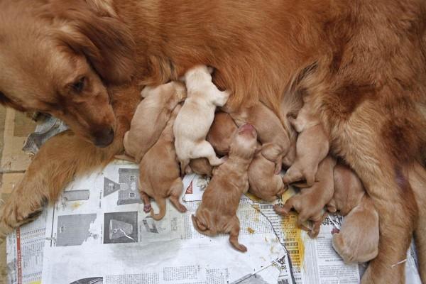 golden retriever and her 13 babies