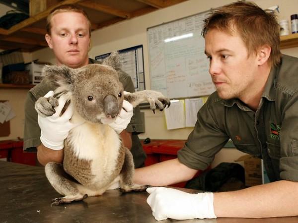 koala Cute Animals