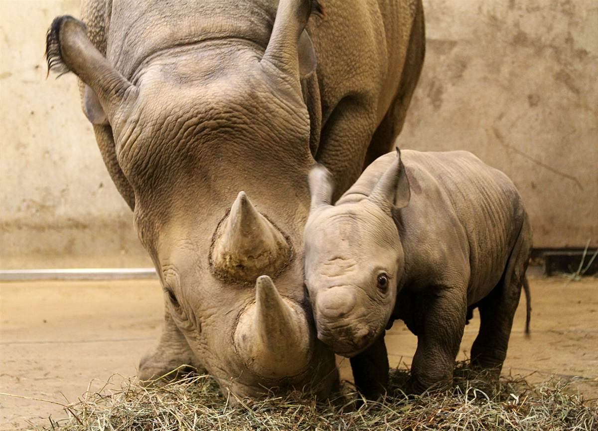 10.Материнская любовь. Маленький носорог прижался к маме, зоопарк в