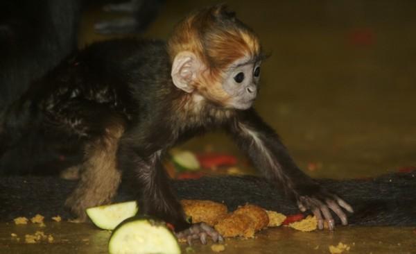 An Ma the Francois Langur, Mesker Park Zoo & Botanic Garde