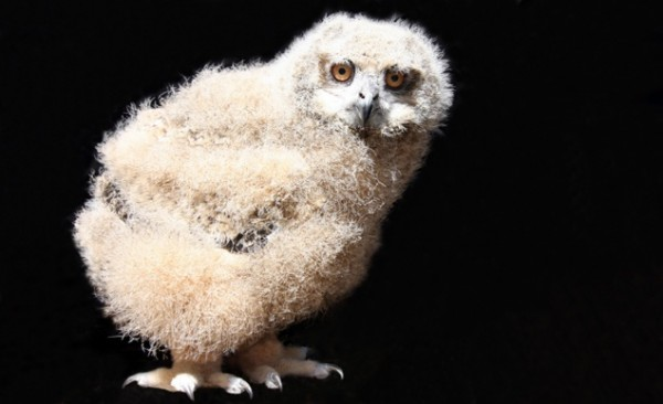 Caspian the Eurasian Eagle Owl, Cincinnati Zoo