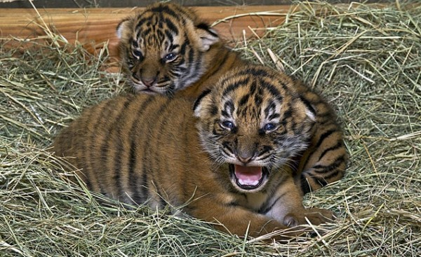 Christopher and Connor, the Malayan Tigers; San Diego Zoo