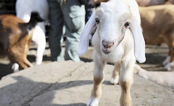 Cole, the Mini-Nubian Goat, Central Park Zoo