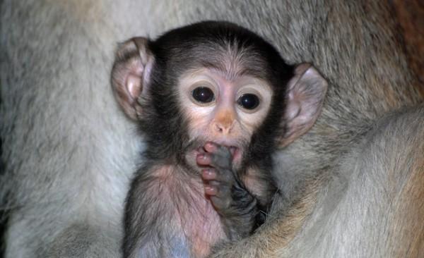 D.J. the Patas Monkey, Rosamond Gifford Zoo
