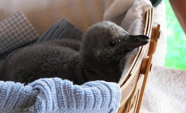 Humboldt Penguins, Rosamond Gifford Zoo