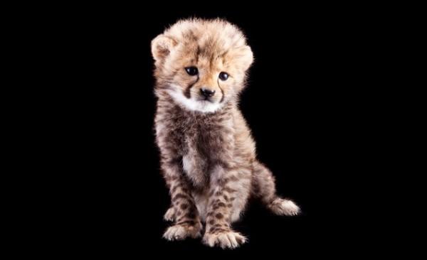 Kasi the Cheetah, Busch Gardens Tampa Bay