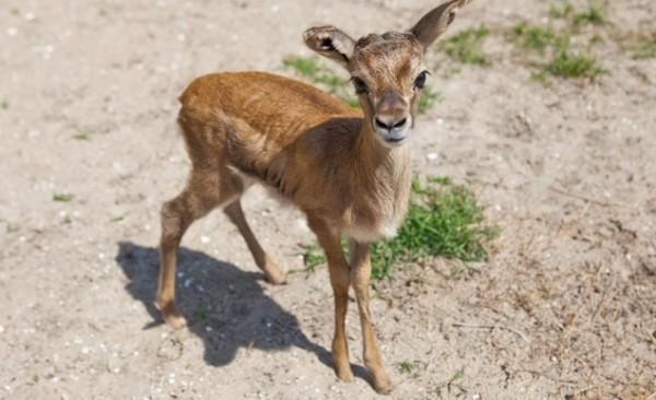 Thomson's Gazelle, Busch Gardens Tampa Bay
