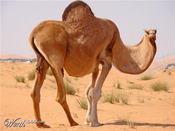 Fat Camel