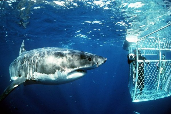 Dangerous Animals great white shark