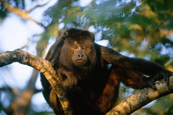The Howler Monkey