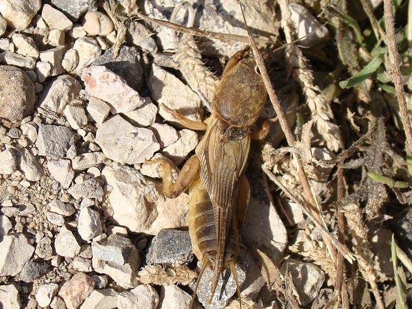The Mole Cricket