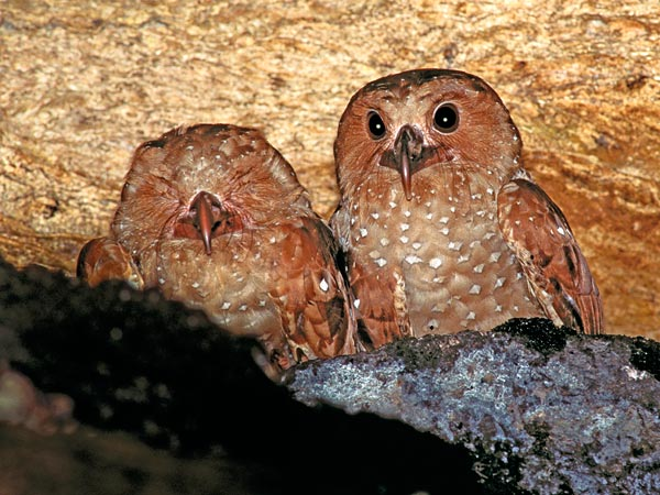 The Oilbirds