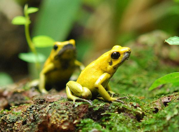 wonderful golden poison frogs of he world