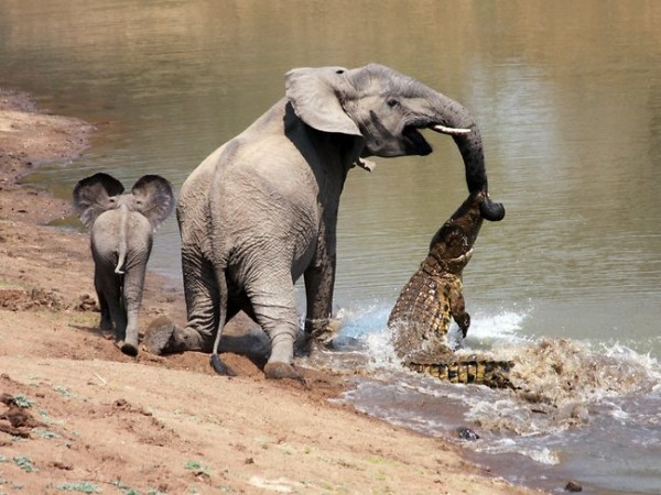 Crocks attack on the elephant
