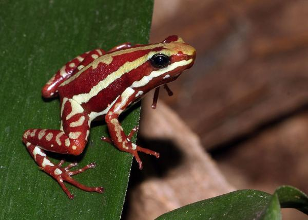 Red and yelllow frog poison