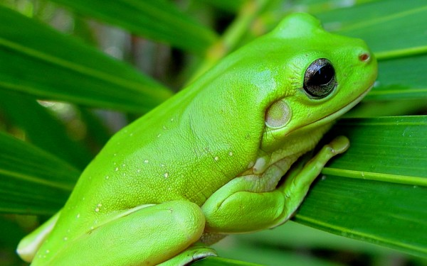 Wonderful Green Frog