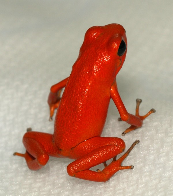 Red Frog Poison