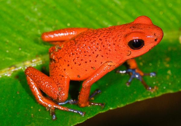 Wonderful red poison frog