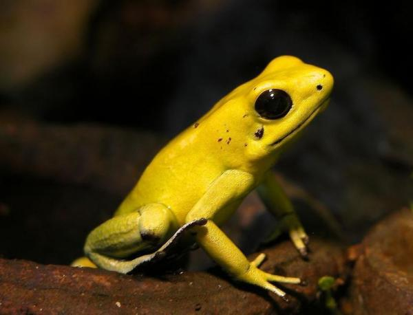 Wonderful yellow frog