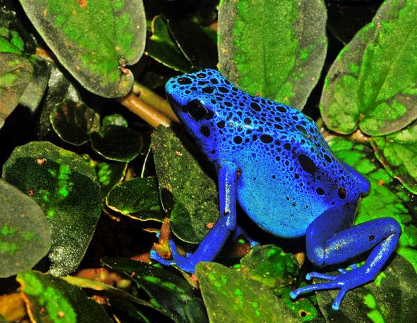 Wondrous Blue Frog