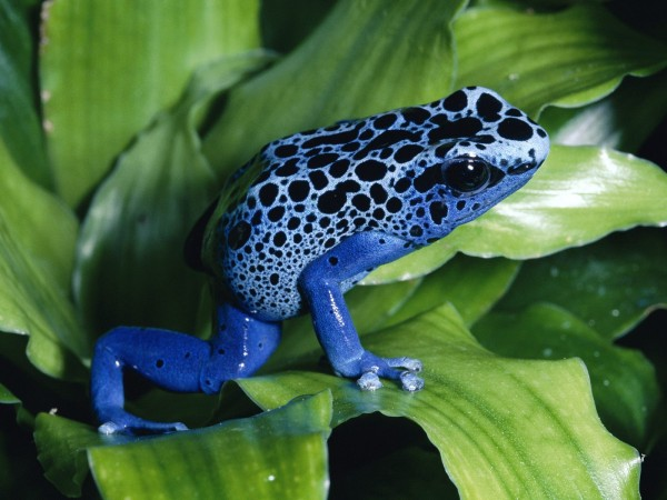 Blue Pison Frog of hte world