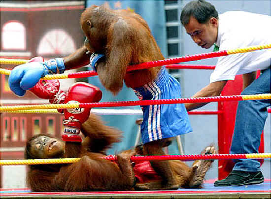 Monkey is playing boxing