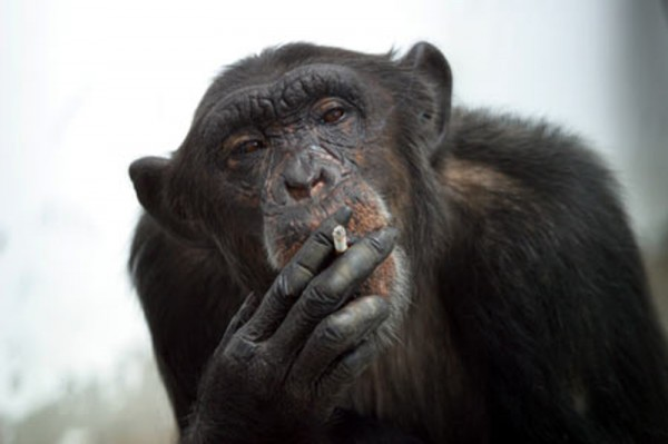 Monkey is smoking