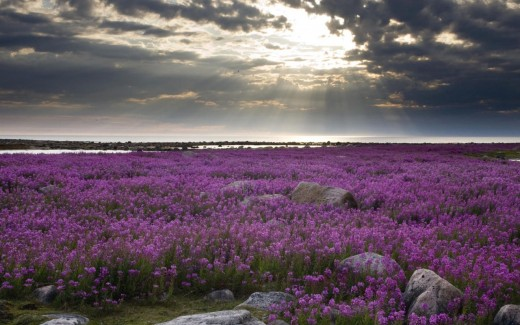 Fireweed Hudson Bay cloudy weather along with flowers