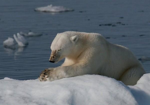 Polar Bear Praying